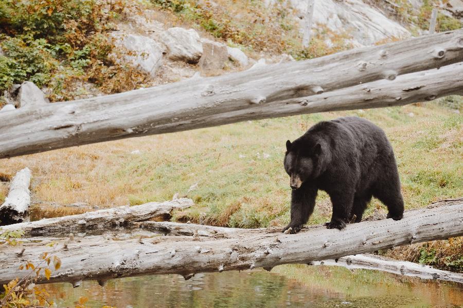 ours_noir_voir_quebec