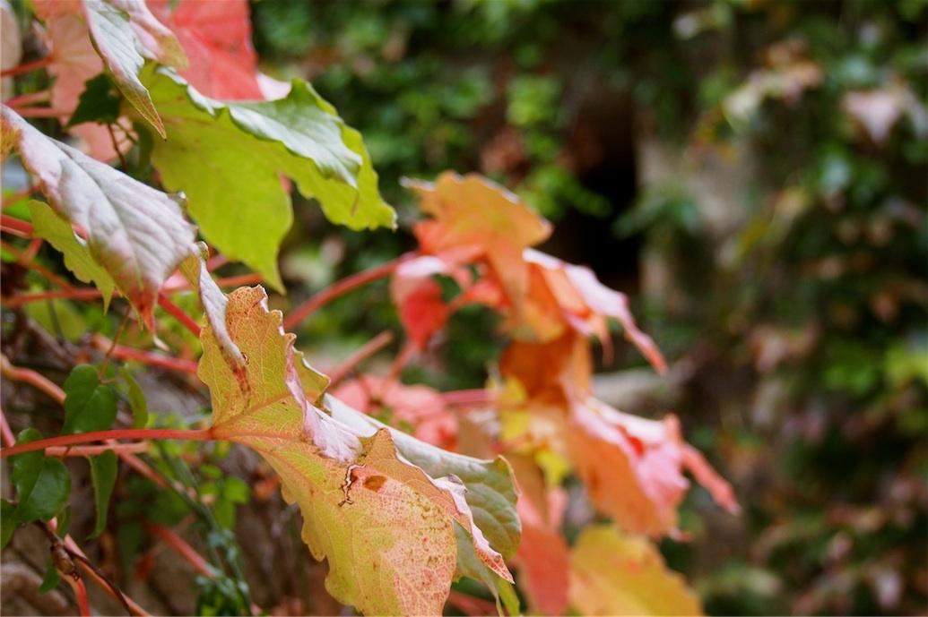 automnevenasque
