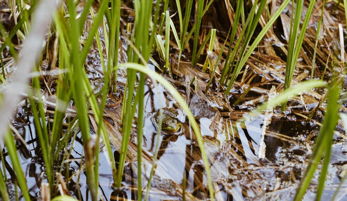 grenouilles-cabane-canada